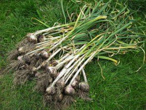 Growing Garlic 101