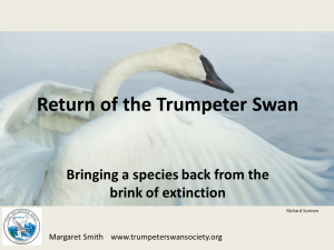 Return of the Trumpeter Swan