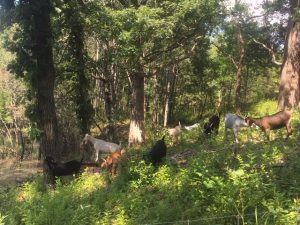 Goat Grazing Tours at Lake Elmo Park Reserve