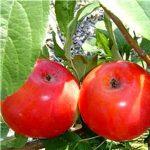 Homeschool Program: Apple Orchard